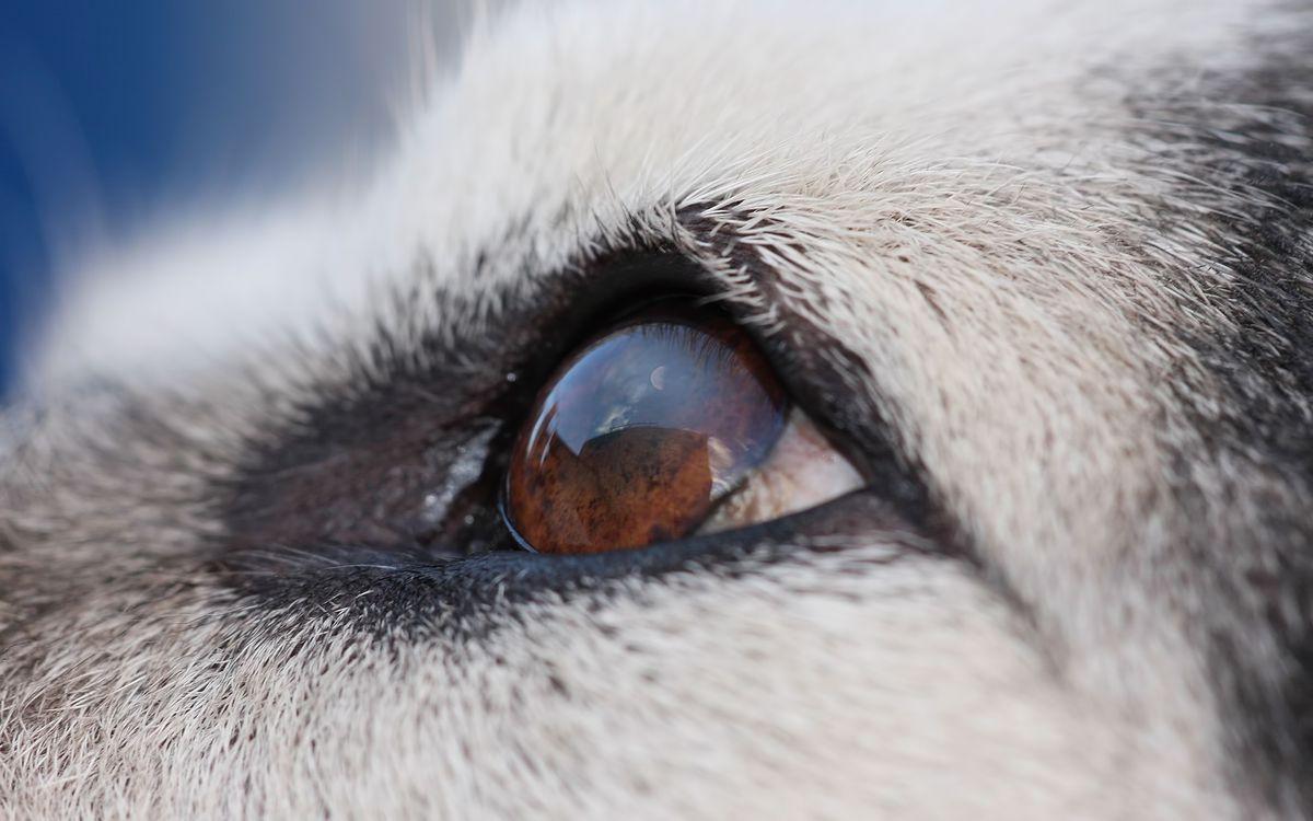 Фото бесплатно ¬¬¬¬¬нос, усы, морда, собака, пес, щенок, серый, рот, фото, глаза, макро, собаки, собаки