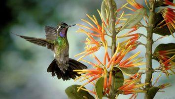 Фото бесплатно колібрі, птахи, літає