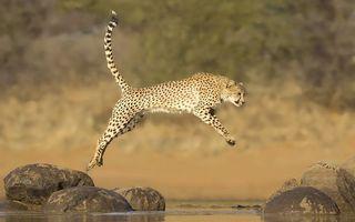 Фото бесплатно гепард, прыгает, через ручей