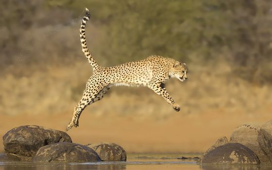 Photo free cheetah, jumping, across the stream