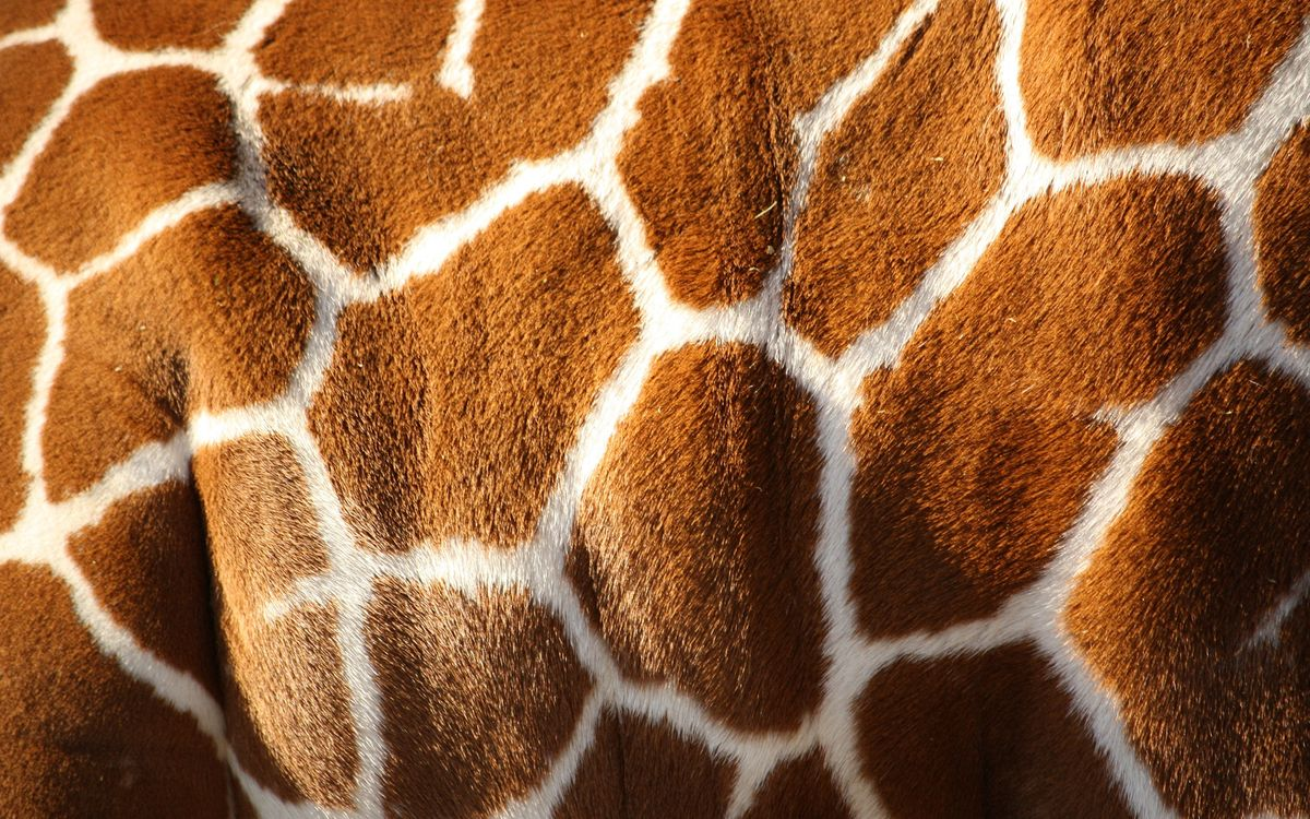 Free photo giraffe, body, skin - to desktop