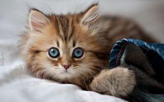 Фото бесплатно котенок, кот, маленький, пушистый, комочек, ребенок, лежит, кровать, хвост, шерсть, глаза, усы, уши, джинс, кошки