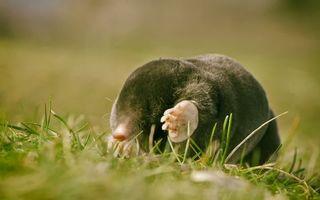 Бесплатные фото крот,лапы,когти,нос,шерсть,трава,животные