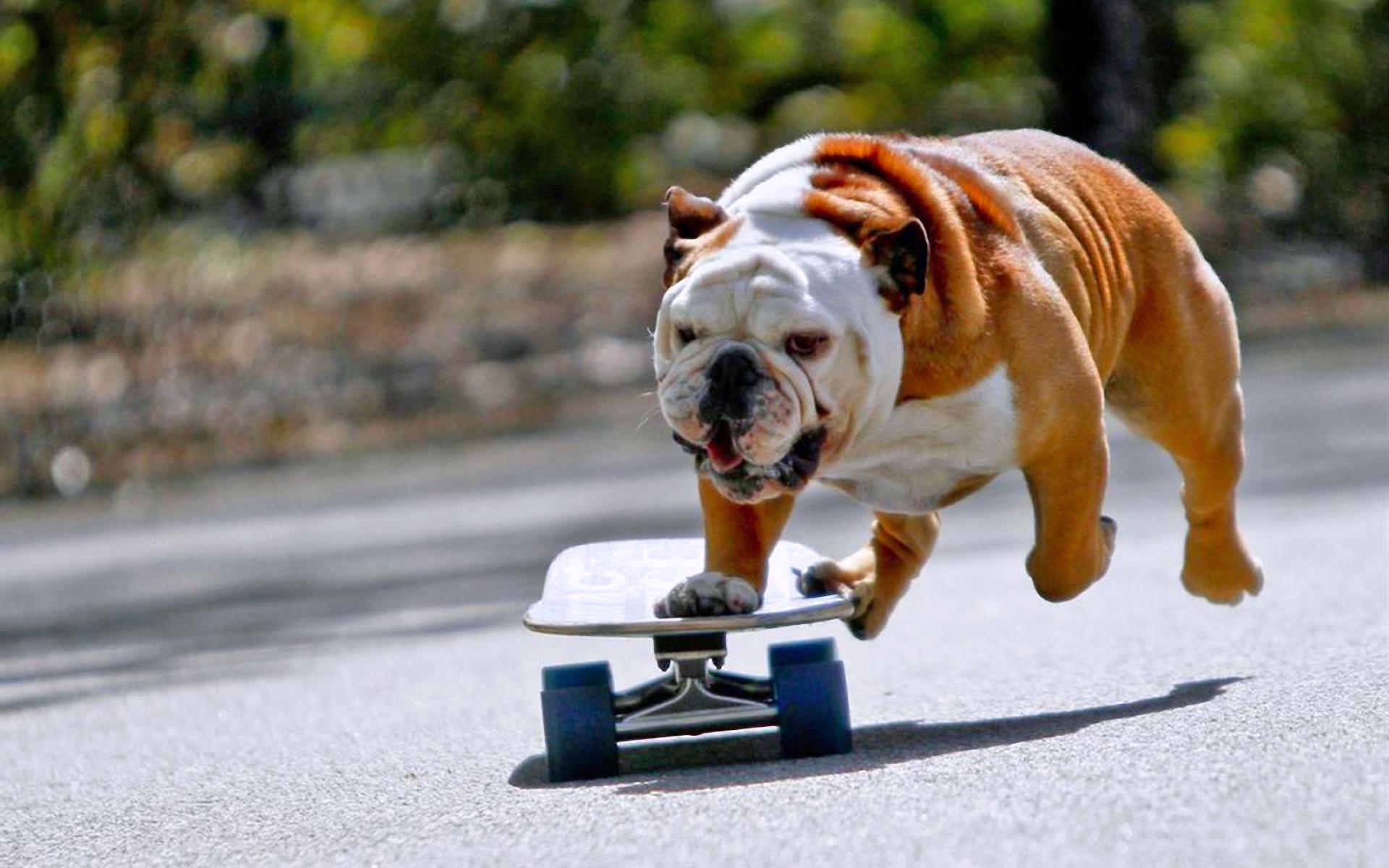 собака, бульдог, скейт