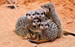 Photo free meerkats, family, little animals