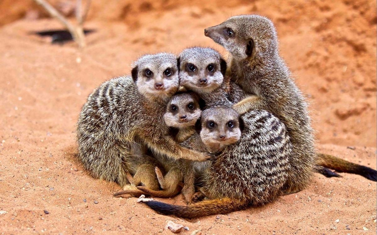 Фото бесплатно сурикаты, семья, зверьки, глаза, уши, нос, рот, хвост, песок, пустыня, лето, животные, животные