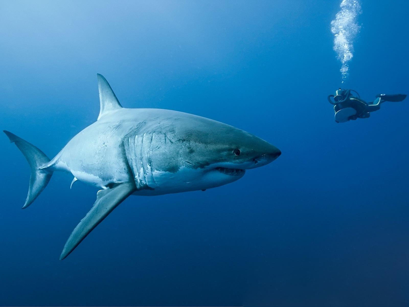 акула, водолаз, океан