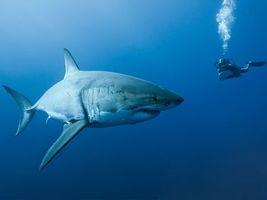 Фото бесплатно акула, водолаз, океан