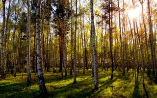Photo free birches, forest, grass rays