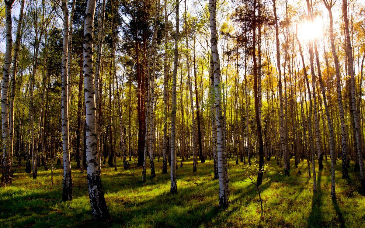 Фото бесплатно березки, лес, трава. лучи, солнце, лето, природа, природа