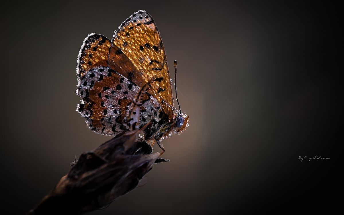Photos for free butterfly, wings, dew - to the desktop
