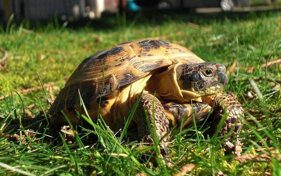 Фото бесплатно черепаха, трава, лето