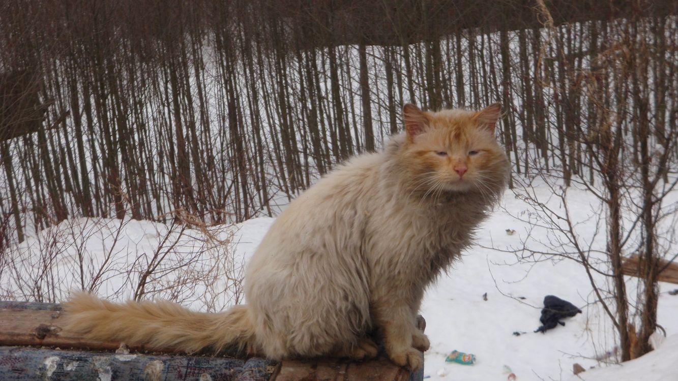 Фото бесплатно кот, пушистый, шерсть, хвост, лапы, морда, улица, снег, кошки, кошки