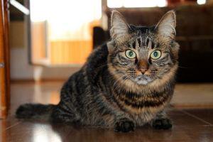 Бесплатные фото кот,домашний,пушистый,уши,хвост,шерсть,усы