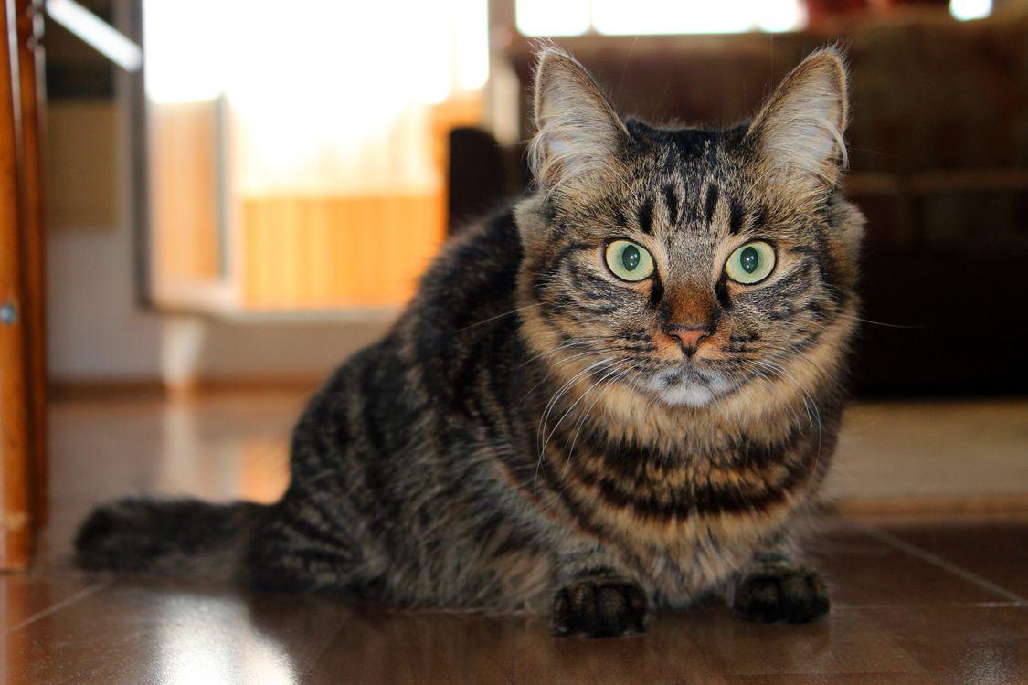 Фото бесплатно кот, домашний, пушистый, уши, хвост, шерсть, усы, нос, глаза, рот, лапы, комната, сидит, пол, кошки, кошки