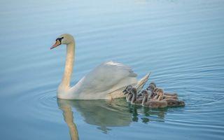 Бесплатные фото лебедь,птицы,птенцы,животные,водоём,вода,природа