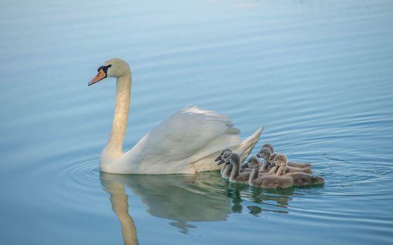 Фото бесплатно лебедь, птицы, птенцы, животные, водоём, вода, природа