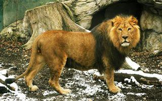 Фото бесплатно лев, дикий, зверь