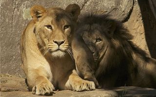 Бесплатные фото лев,львица,лапы,вольер,камни,пещера,пара