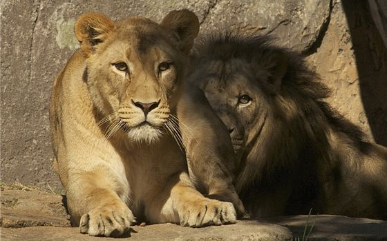 Бесплатные фото лев,львица,лапы,вольер,камни,пещера,пара,семья,когти,хищники,животные