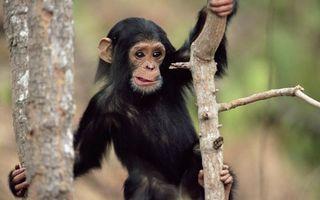 Photo free monkey, chimpanzee, muzzle