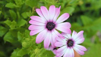 Бесплатные фото ромашки,лепестки,розовые,тычинка,пестик,листья,бутоны
