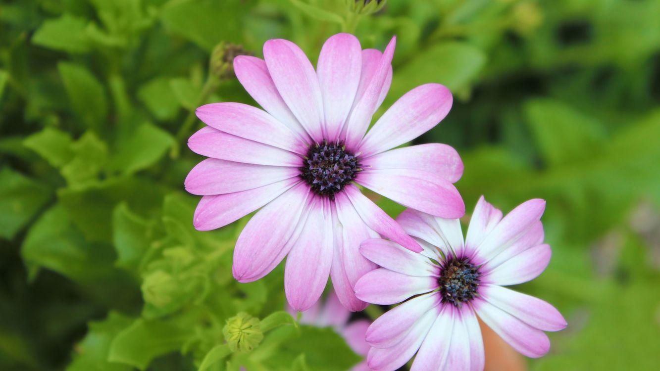 Фото бесплатно ромашки, лепестки, розовые, тычинка, пестик, листья, бутоны, ветки, зелень, цветы, цветы
