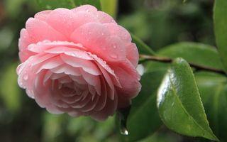 Заставки роза, листья, лепестки, розовая, шипы, куст, роса, капли, вода, макро, цветы
