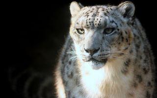 Бесплатные фото снежный барс,морда,глаза,окрас,пятна,шерсть,кошки