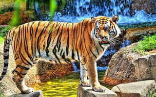 Фото бесплатно тигр, полосатый, водопад