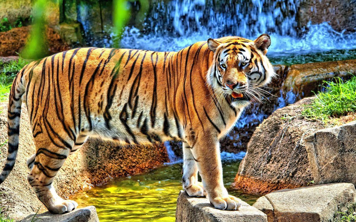 Обои тигр, полосатый, водопад, камни, клыки, брызги, трава, природа, кошки, зоопарк, взгляд, усы, животные на телефон | картинки животные