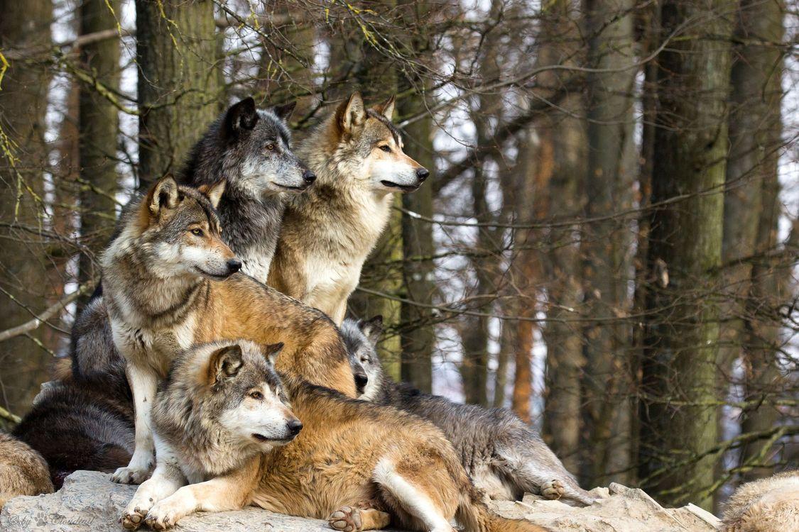 Фото бесплатно волки, стая, дикие, лес, деревья, природа, собаки, собаки