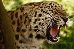 Фото бесплатно леопард, большая кошка, угроза