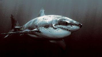 Обои акула, велика, біла, пливе, чорний, море, океан, зуби, животные, подводный мир