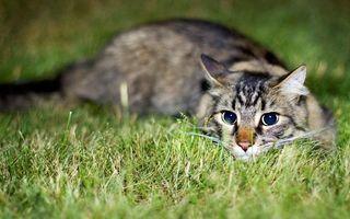 Бесплатные фото кот,большие,глаза,играет,трава,кошки