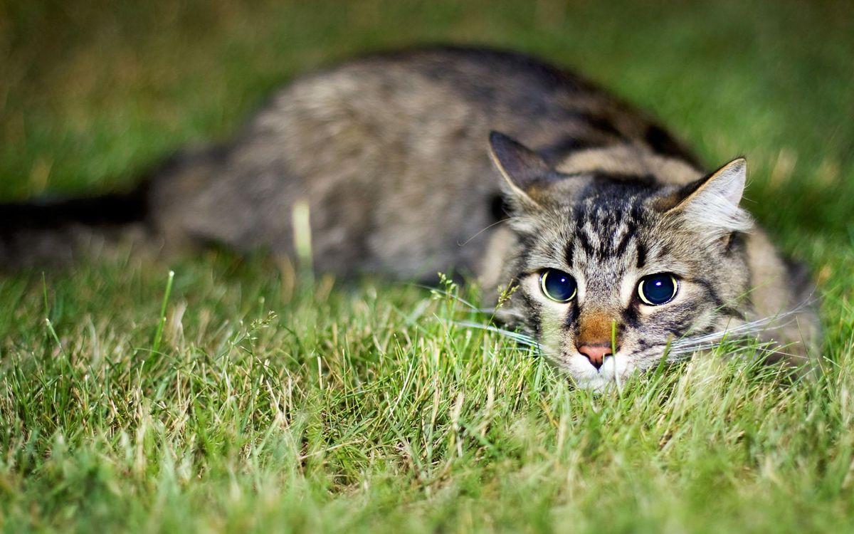 Фото бесплатно кот, большие, глаза, играет, трава, кошки, кошки