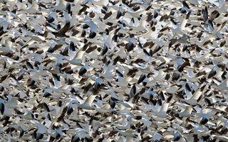 Бесплатные фото гуси,стая,полет,крылья,клювы,перья,птицы