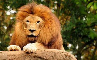 Бесплатные фото лев,царь,грива,морда,лапы,камень,кошки