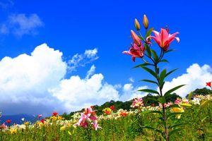 Бесплатные фото лилии,трава,клумба,поле,небо,голубое,облака