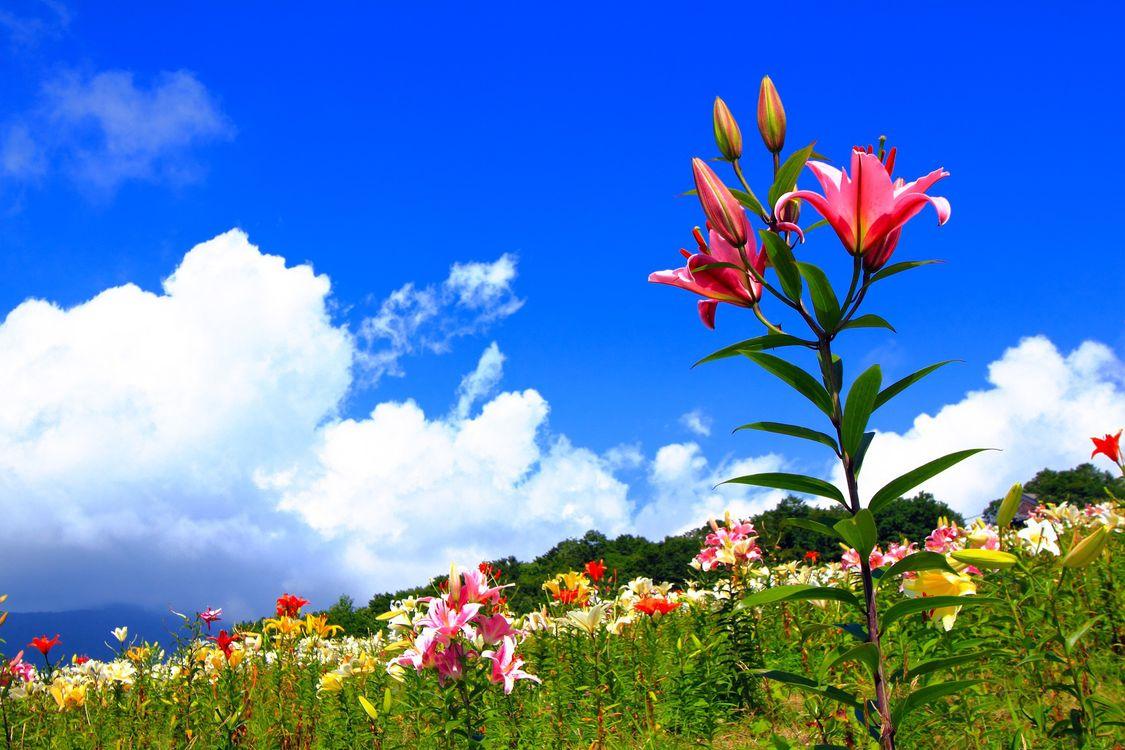 Фото бесплатно лилии, трава, клумба - на рабочий стол