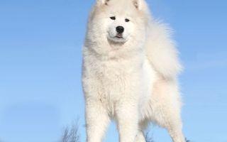 Бесплатные фото пес,белый,пушистый,порода,небо,голубое,животные