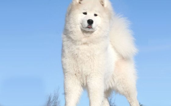 Photo free dog, white, fluffy