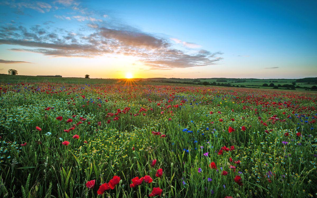 Фото бесплатно поле, цветы, солнце - на рабочий стол