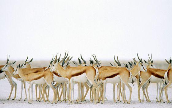 Фото бесплатно рога, олени, косули, красивые, быстрые, степь, животные