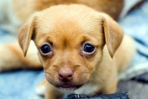 Заставки щенок, глаза, маленький