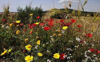 Заставки цветы, полевые, красные