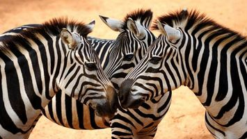 Photo free Zebra, mane, stripes