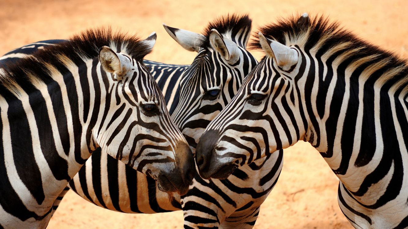 Free photo Zebra, mane, stripes - to desktop