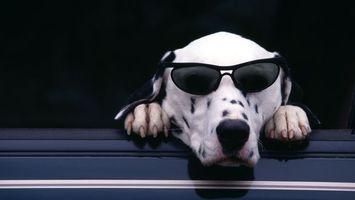 Фото бесплатно далматинец, в очках, солнечный, форточка, автомобиль, собаки
