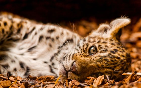 Заставки кошеня, леопард, плямистий